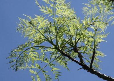 Juglans nigra 'laciniata' 85-98-A